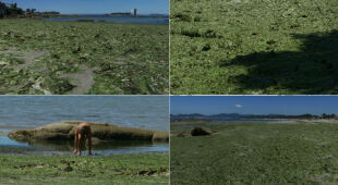 Glony na plaży w hiszpańskiej Galicji