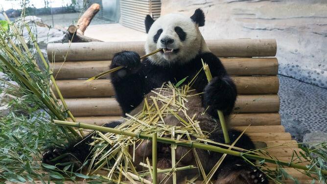Terapia seksem ma <br />pomóc pewnej pandzie