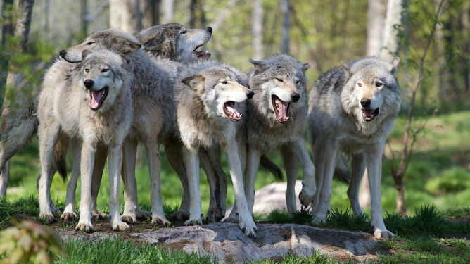 Wilki grasują w Małopolsce. Zagryzły już 340 zwierząt hodowlanych