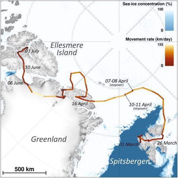 Mapa wędrówki lisicy polarnej (Polar Research Journal/Norwegian Polar Institute)
