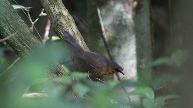Ukryty w brazylijskiej dżungli. Posłuchaj jednego z najrzadszych ptaków świata