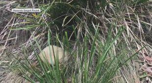 Biała kolczatka australijska