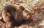 Niedźwiadki z matką w Bieszczadach